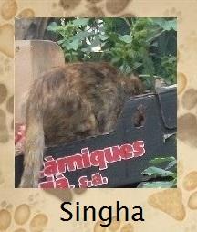 Singha (leeuw)